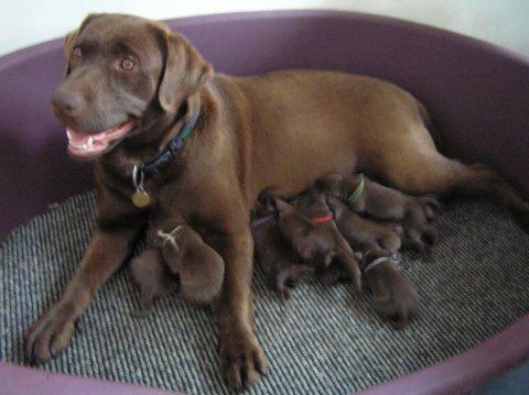 hund labrador hvalpe brun